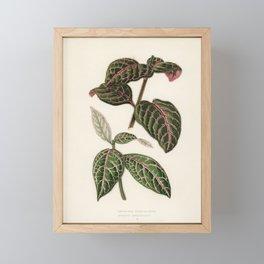 Eranthemum Sanguinolentum engraved by Benjamin Fawcett (1808-1893) for Shirley Hibberd's (1825-1890) Framed Mini Art Print
