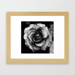 peach rose Framed Art Print