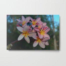 Beautiful Tropical Pink Frangipani Flowers Metal Print