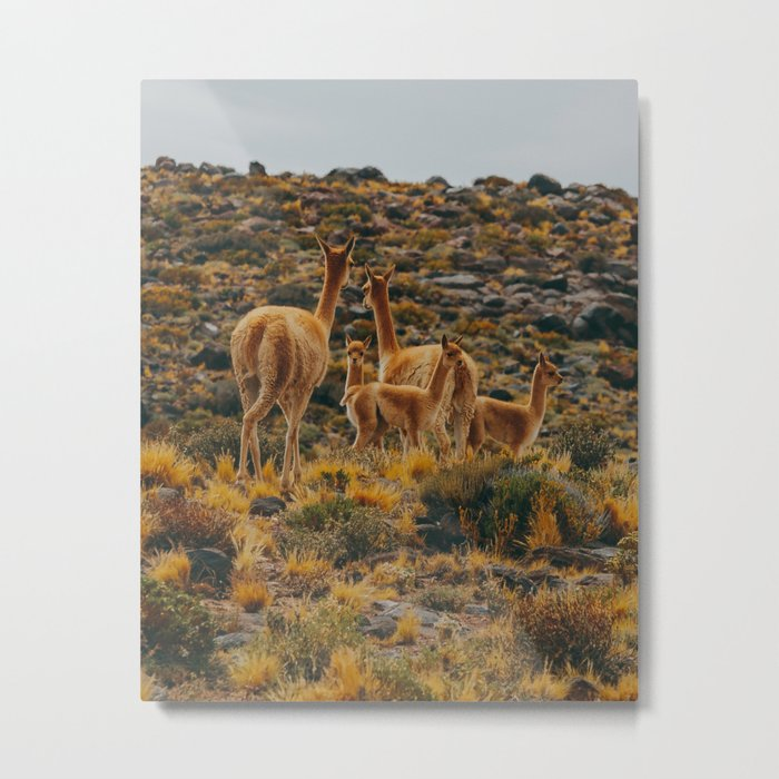 Family of Guanaco Metal Print