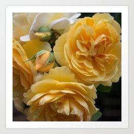 Graham Thomas old fashioned rose Art Print