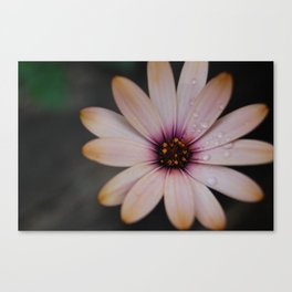 daisy drops Canvas Print