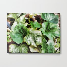 Zucchini plants Metal Print