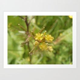 Rorippa Palustris Delicate Pale Mustard Flower Art Print