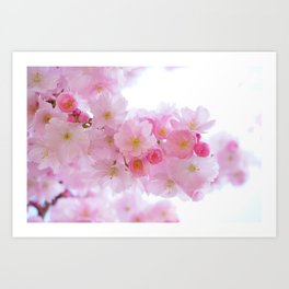 Pink Japanese Cherry Tree Blossom Art Print