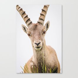 Photo of a Gems/Chamois in the Alps, Suisse/Switzerland | Fine Art Colorful Travel Photography |  Canvas Print