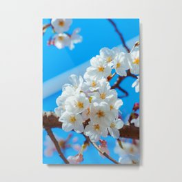 Pink & White Cherry Blossom Flower Blooming Metal Print