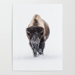 Yellowstone National Park: Lone Bull Bison Poster