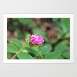 Barely Open Wild Rose Bud Art Print