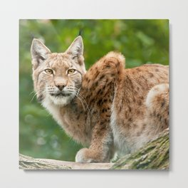 Golden eyes Metal Print