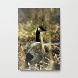 Goose Gathering Metal Print