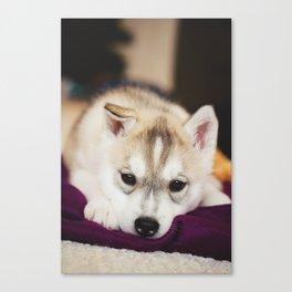 husky puppy. Canvas Print