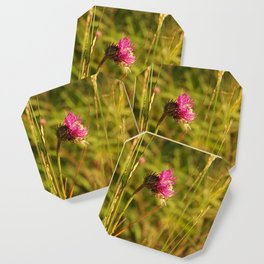 Carduus acanthoides plant, Dolomiti mountains, Italy II Coaster