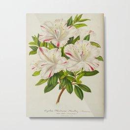 Azalea Madame Miellez Vintage Botanical Floral Flower Plant Scientific Metal Print
