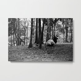Elk Laying Down in Woods Metal Print