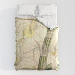 Dendrobium signatum (as Dendrobium hildebrandtii, spelled Dendrobium hildebrandii) Curtis' 122 (Ser Comforters