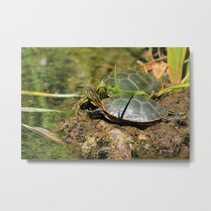 Two Western Painted Turtles Metal Print