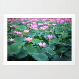 Pink Lotus (Nelumbo nucifera) flowers and leaves in lake Art Print
