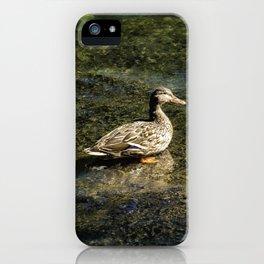 Female Mallard in the Shallows iPhone Case