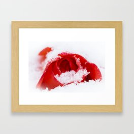 A lone rose resting in the snow after a late London snowstorm in March Framed Art Print