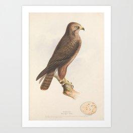 Buzzard buteo vulgaris5 Art Print