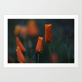 California Poppies at Dusk Art Print