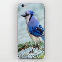 Blue Jay  in Winter Pine Tree iPhone Skin