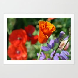 Orange Poppy Unfurling in Haines, Alaska by Mandy Ramsey Art Print