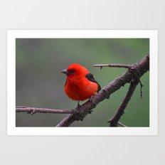 Scarlet Tanager - A Nature Art Print Art Print