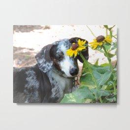 Cute dachshund in the garden Metal Print