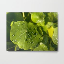 Rain drips on a nasturtium leaf Metal Print