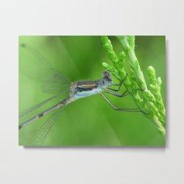 damsel fly 2015 II Metal Print