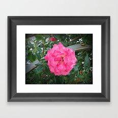rosa rosa Framed Art Print