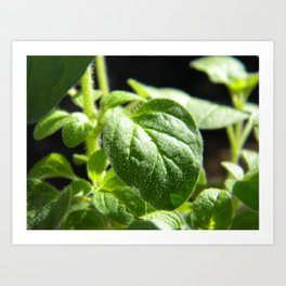 Greek oregano Art Print