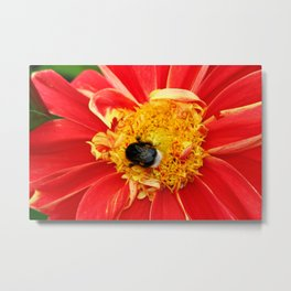 Bumble Bee On Dahlia Metal Print