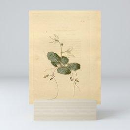 Flower saxifraga cuscutaeformis23 Mini Art Print
