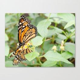 Butterflies Canvas Print