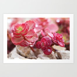Succulent Garden Cactus Red Flowers Tropical Cacti with drops Art Print