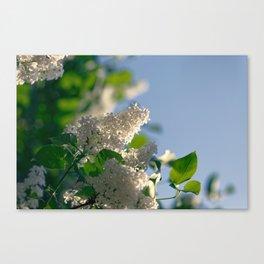 White Syringa vulgaris lilac Canvas Print