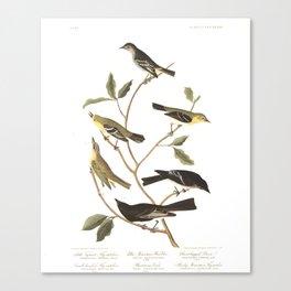 Little Tyrant Flycatcher, Small-headed Flycatcher, Blue Mountain Warbler, Bartram's Vireo, Short-leg Canvas Print