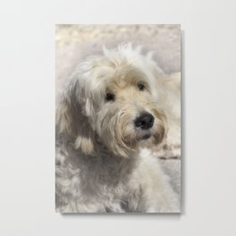 Dog Goldendoodle Metal Print