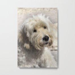 Dog Goldendoodle Golden Doodle Metal Print