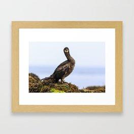 Shag, Farne Islands Framed Art Print