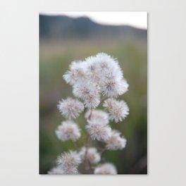 Colorado Wildflower #529 Canvas Print