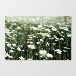 White Summer Daisies Flowers Canvas Print