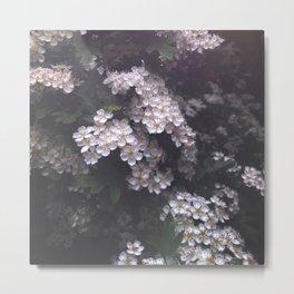 Hawthorn Blossoms Metal Print