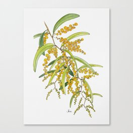 Australian Wattle Flower, Illustration Canvas Print
