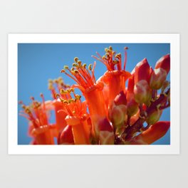 Octotillo Blossoms by Reay of Light Photography Art Print