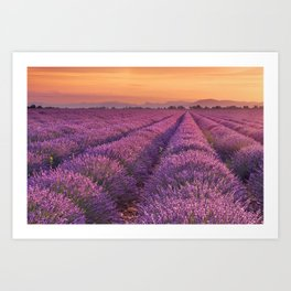 I - Sunrise over blooming fields of lavender in the Provence, France Art Print