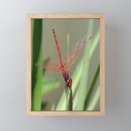 Beautiful Red Skimmer or Firecracker Dragonfly Framed Mini Art Print